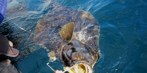 Halibut_180cm_scaryJerry_B