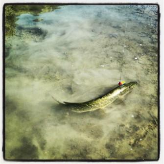 Wuchtiger Esox (knapp 90 cm) am Ufer kurz vor der Landung und …