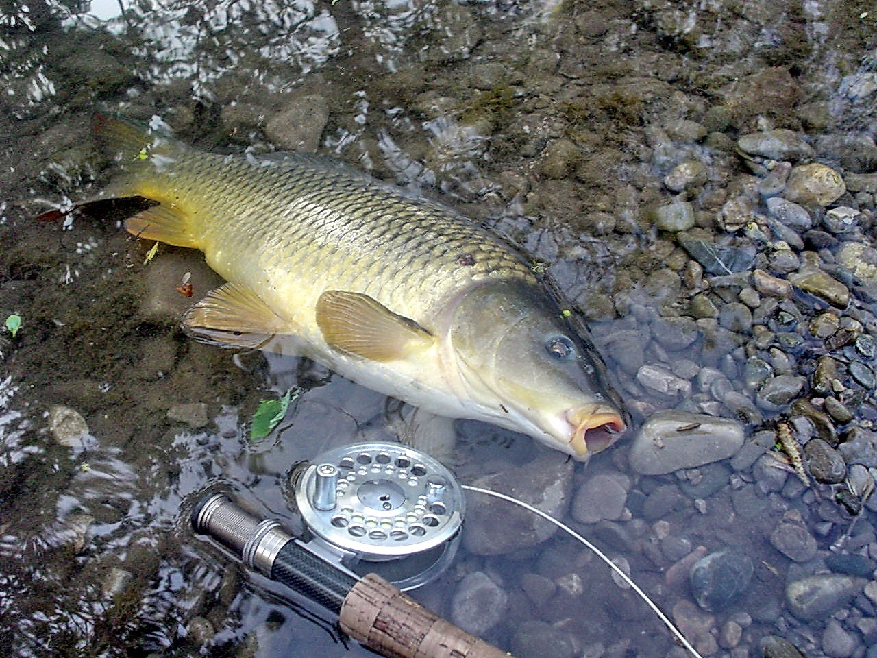Fliegenfischen_Karpfen