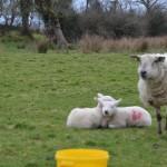 ... kleine Schafe: hauptsache weiß und wollig - willkommen in Irland.