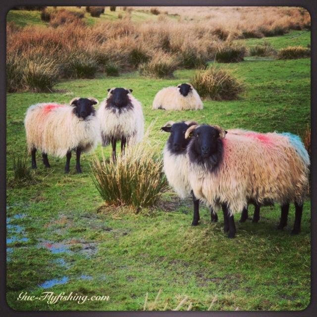 Ob große Schafe, oder ...