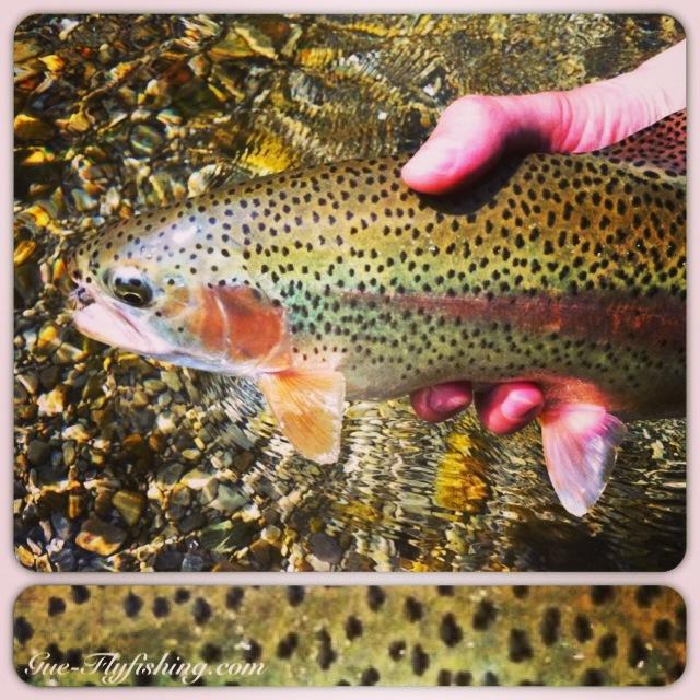 Eine der zahlreichen massiven Traun-Regenbogenforellen - wunderbare kampfstarke und vorsichtige Fische.