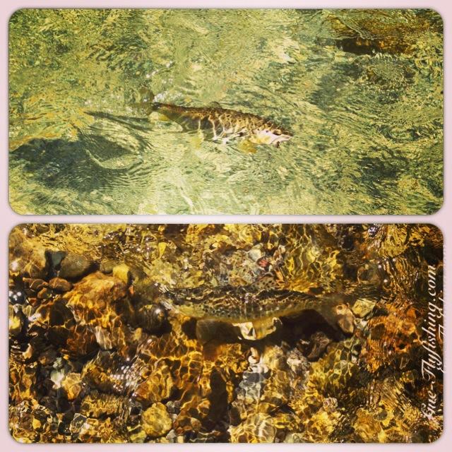 Kleine bis mittelgroße Bachforellen im schnappsklaren Wasser auf Trockenfliege.
