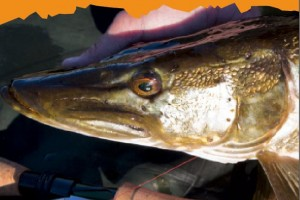 Fliegenfischen auf Hecht