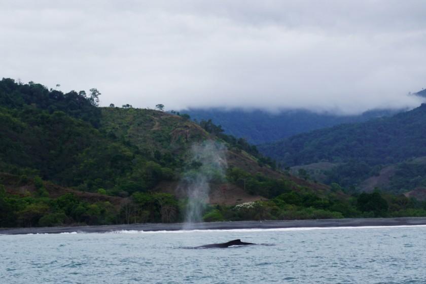 Am letzten Tag machte uns noch ein Buckelwal die Ehre. Sehr beeindruckend und unglaublich wie nahe an der Küste.